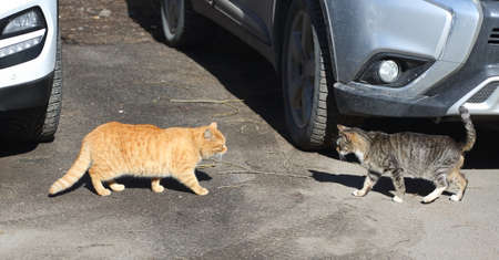 Red and gray cats come together for a fight