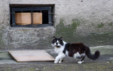 Black and white fluffy cat at the cat hole in the basement window Banco de Imagens
