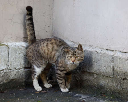 A gray tabby cat with its tail raised in the corner of the wall
