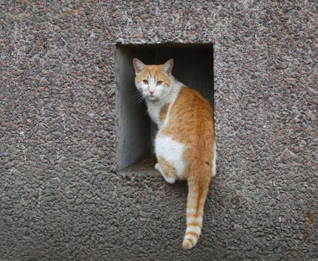 A red-and-white tabby cat sits on a basement window in a gray wall