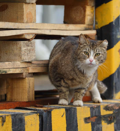 A gray fat yellow-eyed cat sits on a building structure