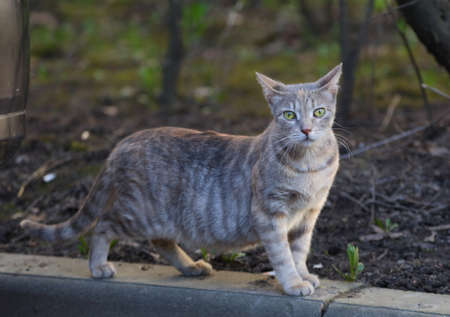 A gray striped green-eyed cat walks along the curb