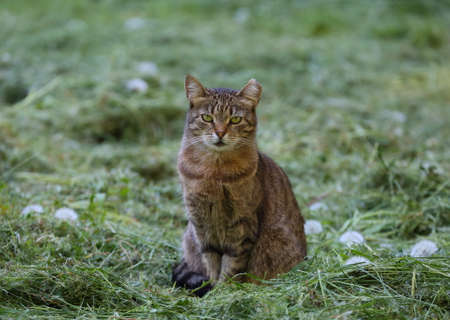 A gray tabby cat sits on the mown grass