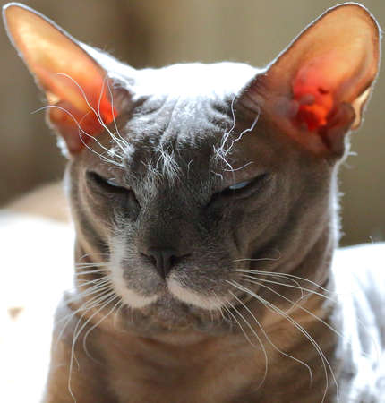 Portrait of a gray gloomy squinting cat of the Peterbold breed