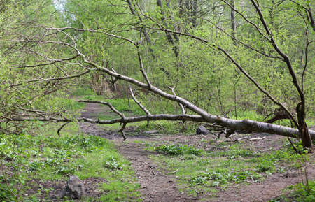A dry tree fell across the path of a forest path
