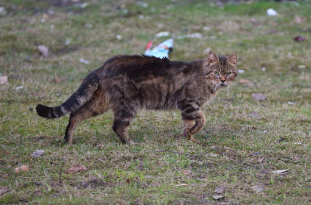 Brown striped cat walks on spring land Banco de Imagens