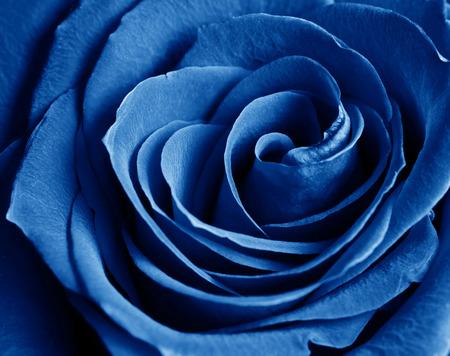 velvety: beautiful close up blue rose