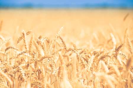 background, backdrop of  yellow ears on the beautiful golden wheat field Stock Photo