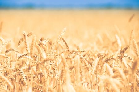 cosecha de trigo: fondo, telón de fondo de orejas amarillas en el hermoso campo de trigo dorado