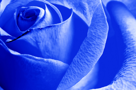 blue rose: close-up beautiul blue rose with water drops Stock Photo