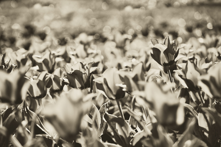 spring tulips under sun toned in sepia and retro style