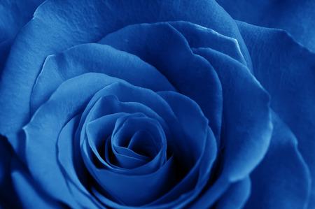 blue romance: beautiful close up blue rose