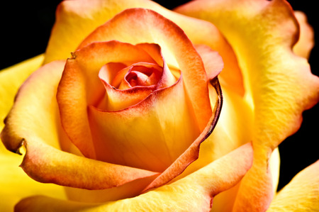 close-up abstract yellow beautiful rose Stock Photo