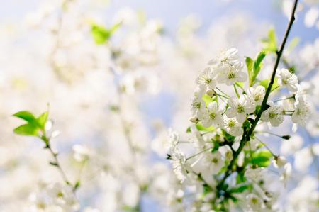 blossoming: beautiful closeup spring blossoming tree