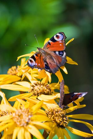 The butterfly sits on the big yellow colors