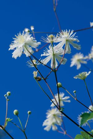 White flowers against the blue sky