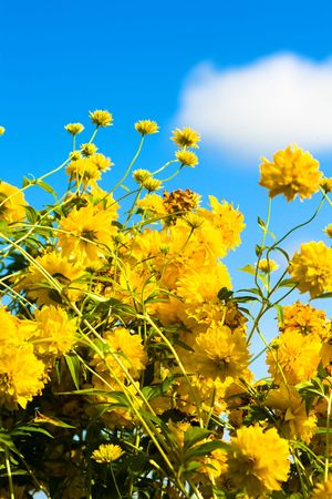 Yellow flowers against the blue sky and a cloud Stock Photo
