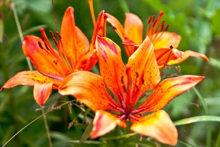 yellow stem: Lilies bloom in the garden on a green background of the rest of the vegetation