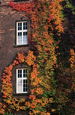 Variegated  ivy autumn twist around the windows on the brick wall photo