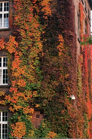 Ivy growth in the 3rd floor on a brick wall of the building  photo