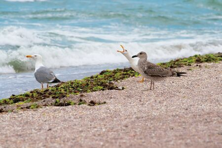 Seagulls on the beach, waves, small pebbles.