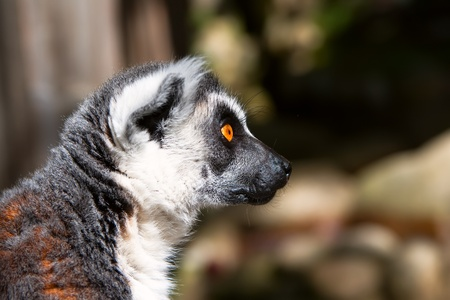Lemur look very close and careful closeup photo