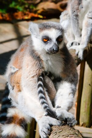 misses: Thoughtful lemur sitting on a tree and misses Stock Photo