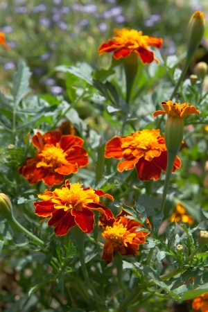 Tagetes flowers and buds on a flowerbed