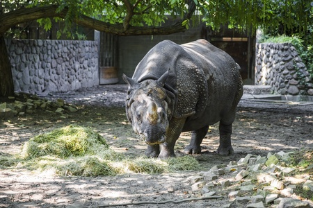 Rhino chews grass in the shade of a tree