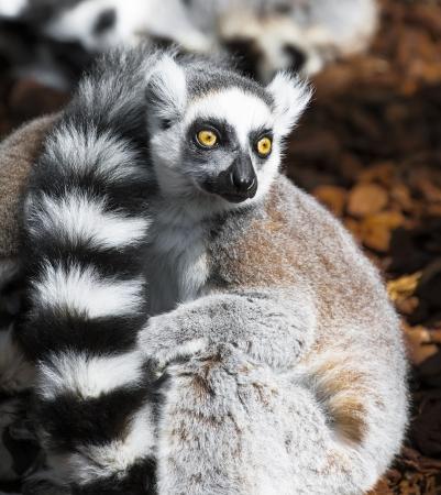 occhi sbarrati: Lemur gli occhi ben aperti guardare a ci� che sta accadendo intorno Archivio Fotografico