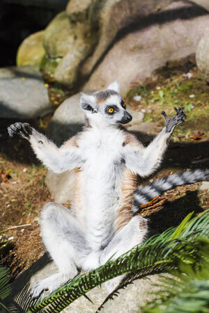 Lemur with a wide paws something divorced excited photo