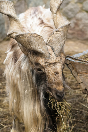rocky mountain bighorn sheep: Goat with big horns helical chews straw Stock Photo