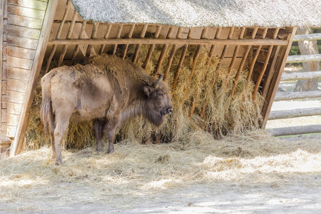 Adult aurochs in a national park on the background of the trough with hay. Poland photo