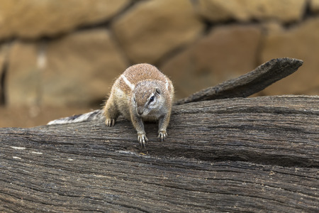 xerus inauris: African ground squirrels - born African rodents from the squirrel family