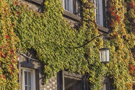 ivy hanging: Beautiful variegated ivy on a brick wall of the building and the lamp antique Stock Photo