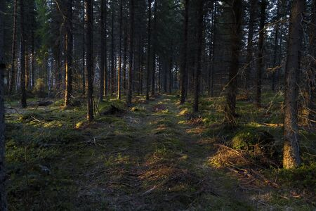 Road to the spruce forest at sunset. Finland