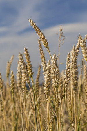 Ripe ears of wheat against the blue sky and clouds