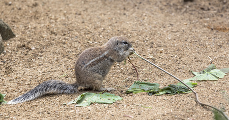 Ground squirrel chewing a sprig of a tree, sitting on its hind legs