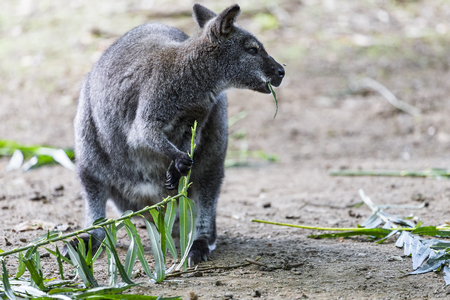 A small kangaroo is eating green shoots in the shade of trees