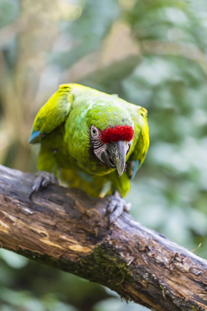 Parrot green-winged macaw (Ara chloropterus) sits on a tree branch Stock Photo