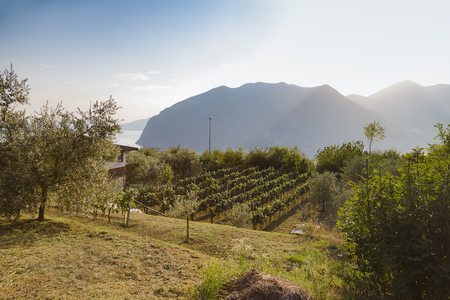 Vineyard on the southern slope of the island, the commune of Monte Isola. Lombardy. Italy