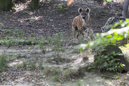 Spotted hyena hides in the grass and closely monitors the photographer