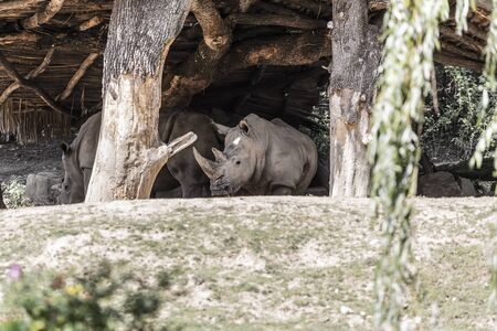 Several large rhinoceros hide from the midday sun under a wooden canopy Stock Photo