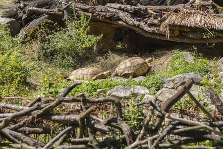 Two large specimens of land tortoises crawl one by one along the path on a sunny day
