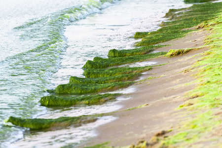 A large number of seaweed in the water and on the sand of the coastal zone