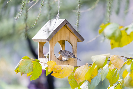 A sparrow eats worms sitting on the edge of a wooden house Stock Photo