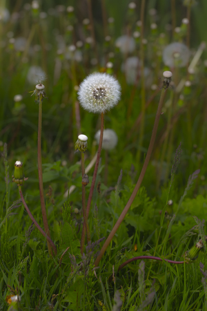 One white fluffy dandelion on the background of a large glade of the same fluffy flowers and green grass