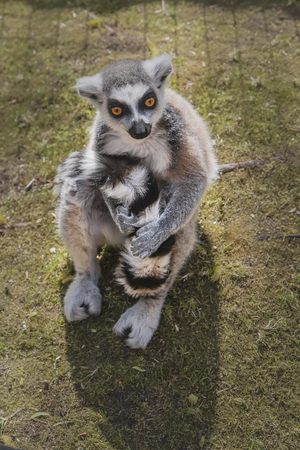 Striped pensive lemur with orange eyes sits on its own tail and holds it with its paws