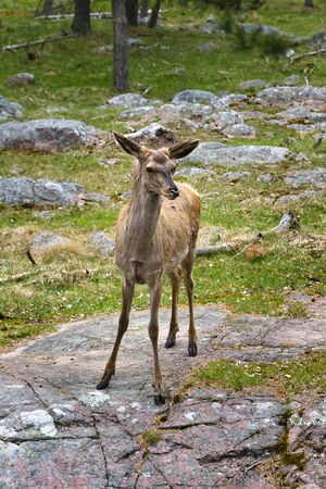A female deer is standing on a huge granite boulder sticking out of the ground and carefully looking ahead Imagens