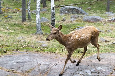 A female deer in the forest runs along huge boulders hidden in the ground